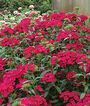 Dianthus, Jolt Cherry, , large
