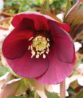 Helleborus, Cassis Red, , large