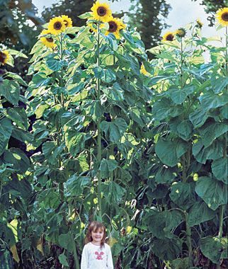 Sunflower, American Giants Hybrid, , large