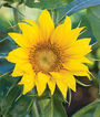 Sunflower, Elf, , large