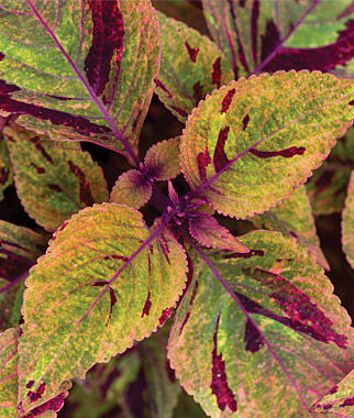 Coleus, Olive Mosaic 3 Plants, Annuals, Annual Flowers, Annual Flower Plants, Flower Plants, Flowering Annuals, Bedding Plants