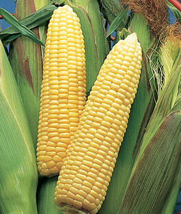 Corn, Sweet Sunshine Hybrid, , large
