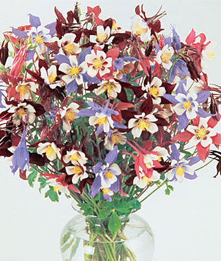 Columbine, Swan Mix, , large