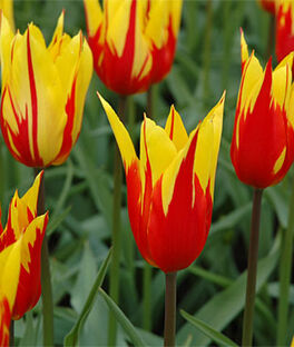 Tulip, Fire Wings, , large