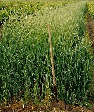 Cover Crop, Winter Rye, , large