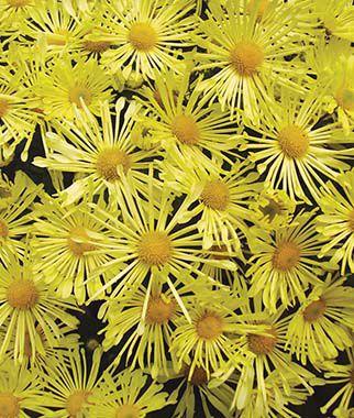 Garden Mum Mammoth Daisy Quill Yellow Chrysanthemums At