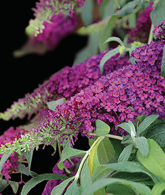 Buddleia, Queen of Hearts, , large