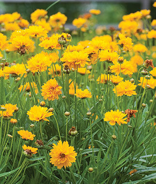 Early Sunrise Coreopsis Seeds And Plants Perennnial