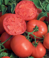 Tomato, BushSteak Hybrid, , large
