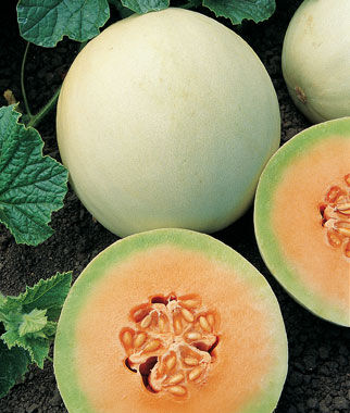 Melon, Honeydew Orange Flesh Organic, , large