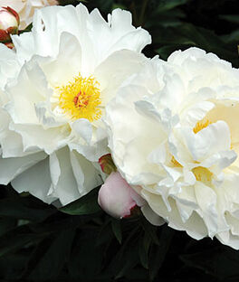 Peony, Immaculee, , large