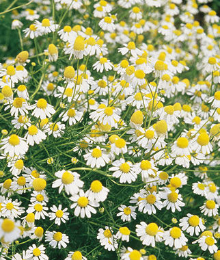 Chamomile, German, , large