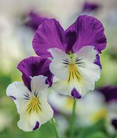 Pansy, Spreading, Plentifall Lavender Blue, , large