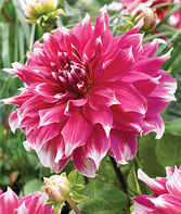 Dahlia, Dinnerplate Frost Nip, , large