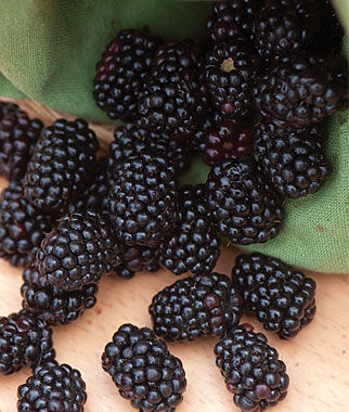 Blackberry, Triple Crown, , large