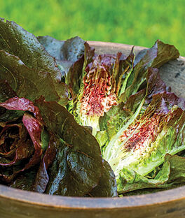 Lettuce, Ruby Glow , , large