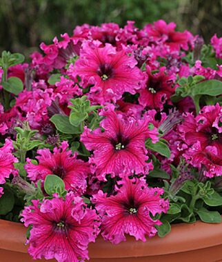 Petunia, Espresso Frappe Rose Hybrid 3 Plants, Annuals, Annual Flowers, Annual Flower Plants, Flower Plants, Flowering Annuals, Bedding Plants