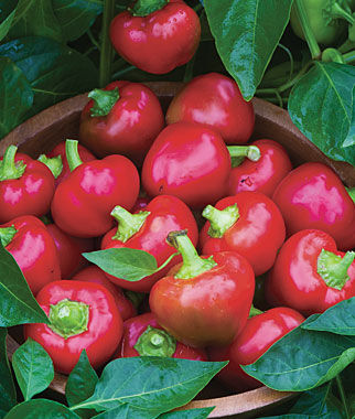 Pepper, Sweet, Cherry Stuffer Hybrid, , large