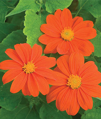 Tithonia, Sundance , , large