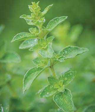 Oregano, Hot & Spicy, , large
