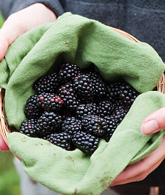 Blackberry, Natchez PP# 20,891, , large