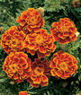 Marigold, Queen Sophia®, , large