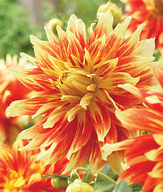 Dinnerplate bodacious dahlia seeds and plants flowering for Flowers that look like dahlias