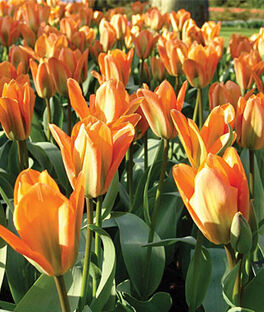 Tulip, Orange Emperor , , large
