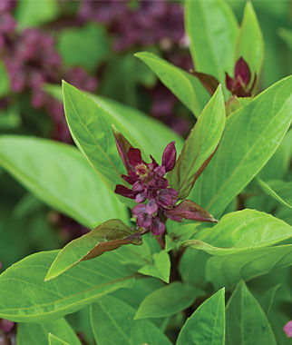 Basil, Siam Queen, , large