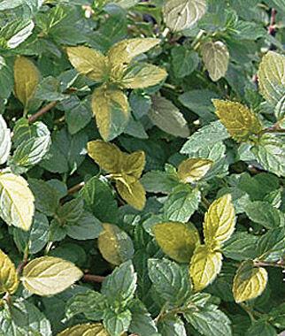 Mint, Peppermint Variegated 3 Plants, Mint Seeds, Mint Plants, Mint, Garden Mint, Herb Seeds, Herb Plants, Herb Garden, Garden Seed, Seeds