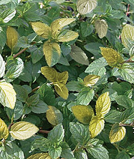 Mint, Peppermint Variegated, , large