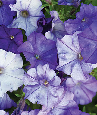 Petunia, Spreading, Shock Wave™ Denim 6 Plants, Annuals, Annual Flowers, Annual Flower Plants, Flower Plants, Flowering Annuals, Bedding Plants