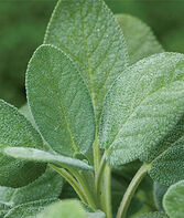 Sage, Common, , large