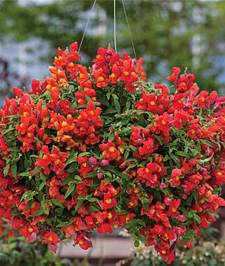 Snapdragon, Candy Showers Orange 3 Plants, Annuals, Annual Flowers, Annual Flower Plants, Flower Plants, Flowering Annuals, Bedding Plants