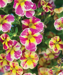 Calibrachoa, Candy Bouquet, , large