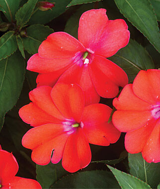 Impatiens, (New Guinea) Spreading Corona 3 Plants Annuals, Annual Flowers, Annual Flower Plants, Flower Plants, Flowering Annuals, Bedding Plants