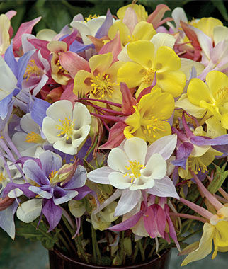 Columbine, Quetzal Mix, , large