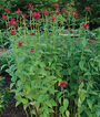 Monarda, Jacob Cline, , large