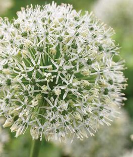 Allium, Mount Everest, , large