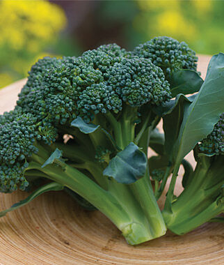 Broccoli, Sun King Hybrid, , large