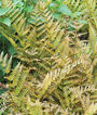 Fern, Autumn, , large