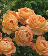 Rose, Lady of Shalott, , large
