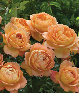 Rose, Lady of Shalott PP22171, , large