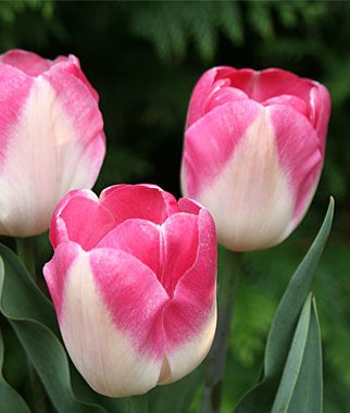 Tulip, Innuendo, , large