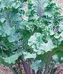 Kale, Red Russian, , large