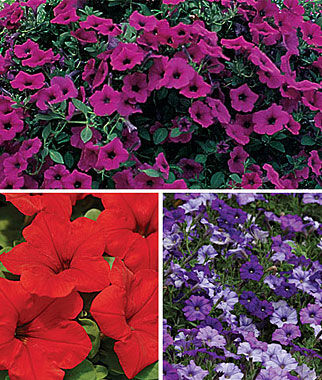 Petunia Wave™ Collection 18 Plants, Annuals, Annual Flowers, Annual Flower Plants, Flower Plants, Flowering Annuals, Bedding Plants