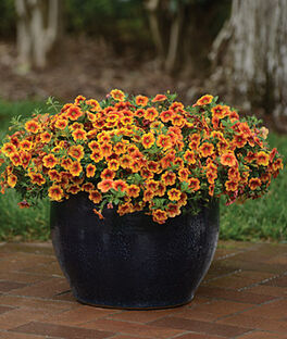 Calibrachoa, Kabloom Crave Sunset, , large