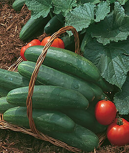 Cucumber, Bush Champion, , large