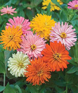 Zinnia, Cactus Flowered Mix, , large