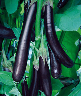 Eggplant, Long Purple Organic, , large